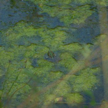 Pelophylax ridibundus (Seefrosch)