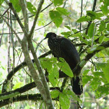 Penelope purpurascens (Rostbauchguan) - Costa Rica