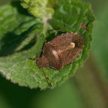 Peribalus strictus (Baumwanze)