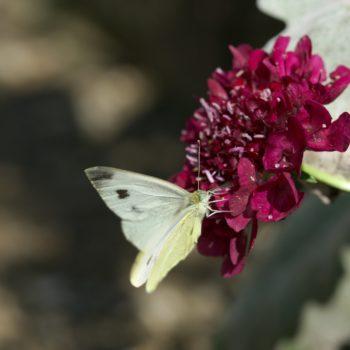 Pieris mannii alpigena (Karstweißling)