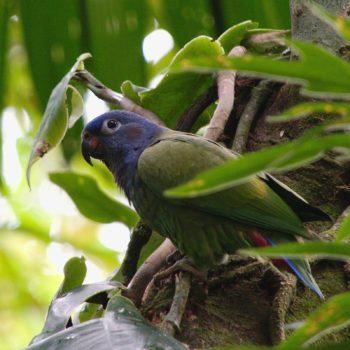 Pionus menstruus (Schwarzohrpapagei) - Costa Rica