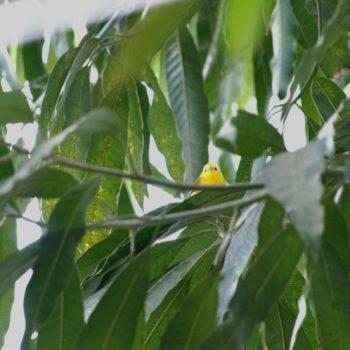 Protonotaria citrea (Zitronenwaldsänger)