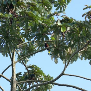 Psarocolius montezuma (Montezumastirnvogel)
