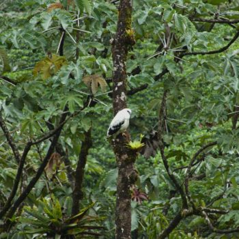 Pseudastur albicollis costaricensis (Schneebussard)
