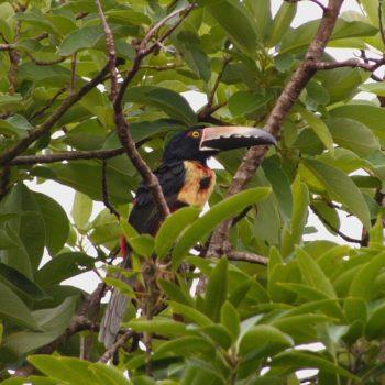 Aves (restliche Vögel) - Costa Rica 2018