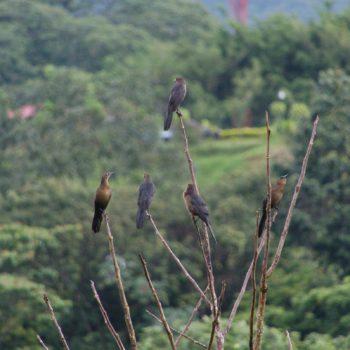 Quiscalus mexicanus (Dohlengrackel)