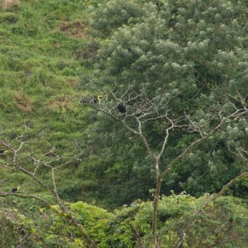 Ramphastos sulfuratus (Regenbogentukan)