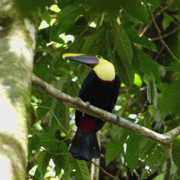 Ramphastos swainsonii (Swainson-Tukan) - Costa Rica