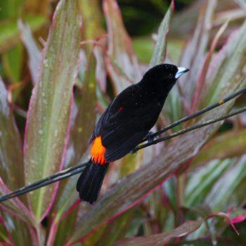 Passeriformes (Sperlingsvögel)