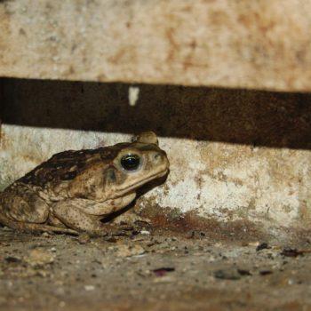 Rhinella horribilis (Giant Toad)