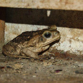 Rhinella horribilis (Giant Toad) - Costa Rica