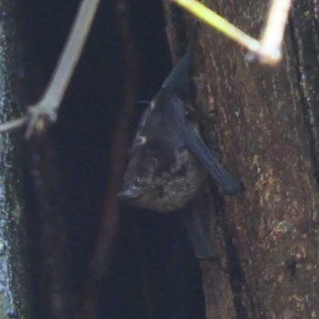 Saccopteryx bilineata (Große Sackflügelfledermaus)