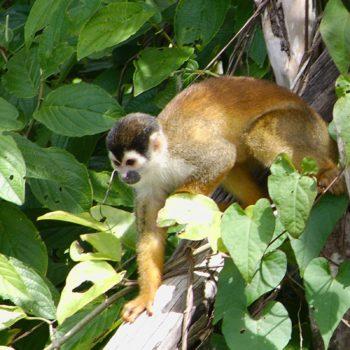 Saimiri oerstedii (Rotrücken-Totenkopfaffe) - Costa Rica