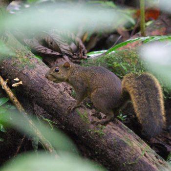 Sciurus granatensis (Rotschwanzhörnchen) - Costa Rica
