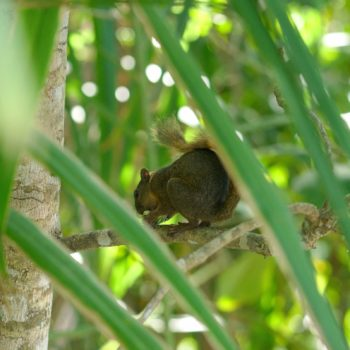 Sciurus granatensis (Rotschwanzhörnchen)