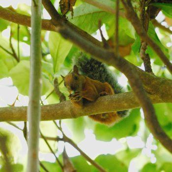 Sciurus variegatoides (Bunthörnchen)