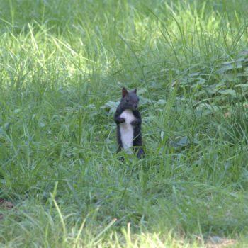 Sciurus vulgaris (Eurasisches Eichhörnchen)