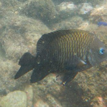 Stegastes acapulcoensis (Acapulco Riffbarsch)