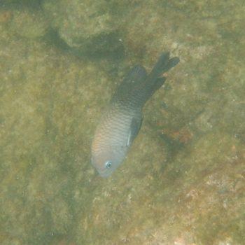 Stegastes acapulcoensis (Acapulco Riffbarsch) - Costa Rica