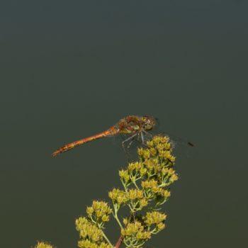 Sympetrum striolatum (Große Heidelibelle)