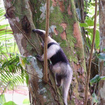 Tamandua mexicana (Nördlicher Tamandua) - Costa Rica