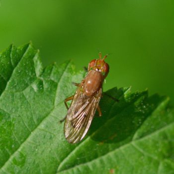 Tetanocera sp. (Hornfliege)