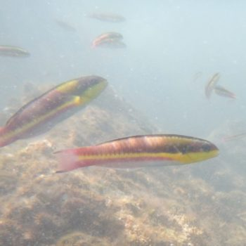 Thalassoma lucasanum (Cortez-Regenbogen-Lippfisch)