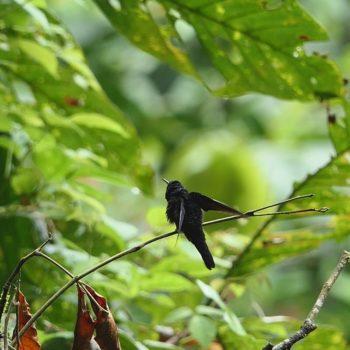 Thalurania colombica (Violettkronennymphe)
