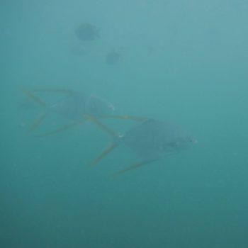 Trachinotus rhodopus (Pompano Stachelmakrele)