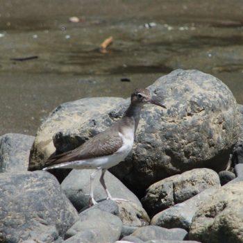 Tringa solitaria (Einsamer Wasserläufer) - Costa Rica