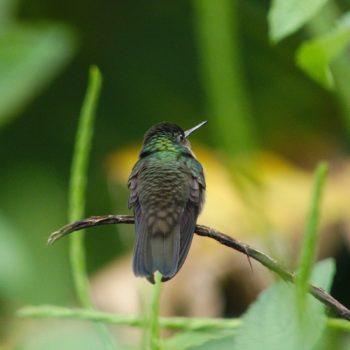 Trochilidae sp. (Kolibri) - Costa Rica