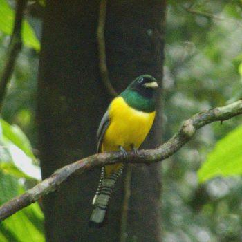 Trogon rufus (Schwarzkehltrogon) - Costa Rica