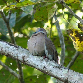 Zenaida asiatica (Weißflügeltaube) - Costa Rica