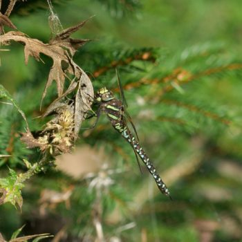 Odonata (Libellen) - Pinzgau, Österreich (August 2019)