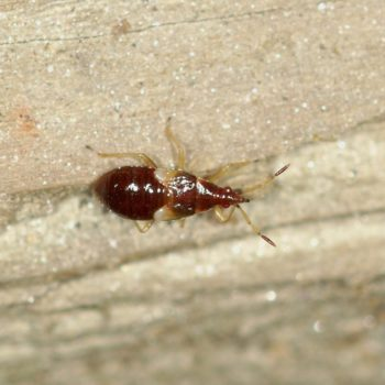 Anthocoris sp. (Blumenwanze)