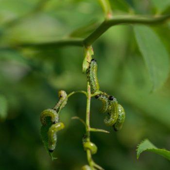 Arge ochropus/pagana (Rosenbürstenhornwespe)
