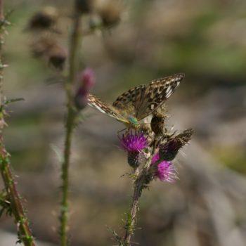 Argynnis paphia f. valesina (Kaisermantel)