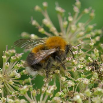 Hymenoptera (Hautflügler) - Pinzgau, Österreich (August 2019)