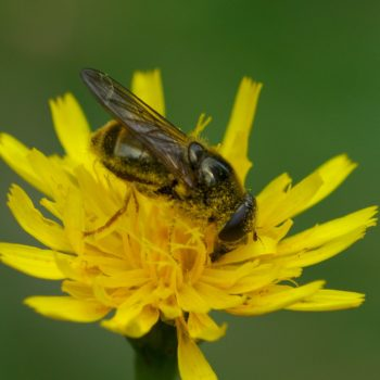 Cheilosia canicularis (Korbblütler-Erzschwebfliege)