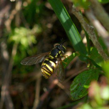 Chrysotoxum cautum (Gemeine Wespenschwebfliege)