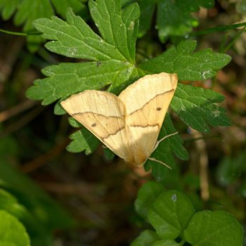 Crocallis elinguaria (Heller Schmuckspanner)