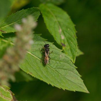 Ectemnius cf. ruficornis (Grabwespe)