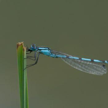 Enallagma cyathigerum (Gemeine Becherjungfer)