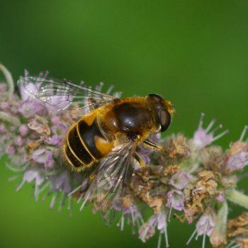 Eristalis jugorum (Gebirgs-Keilfleckschwebfliege)