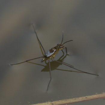 Hemiptera (Schnabelkerfe) - Pinzgau, Österreich (August 2019)