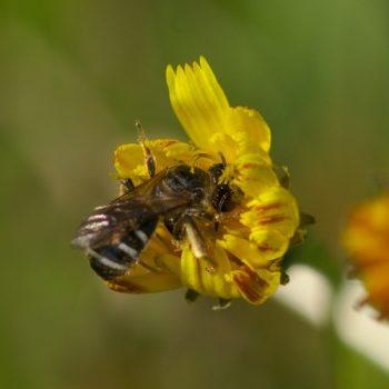 Halictidae sp. (Furchenbiene) - Österreich