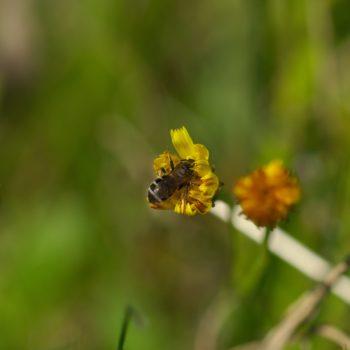Halictidae sp. (Furchenbiene)