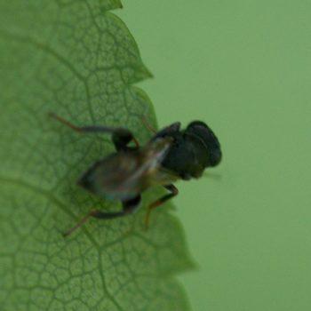 Haltichella rufipes (Erzwespe)