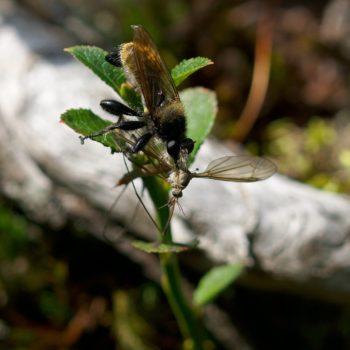 Laphria flava (Gelbe Mordfliege)