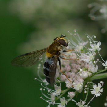 Diptera (Zweiflügler) - Pinzgau, Österreich (August 2019)